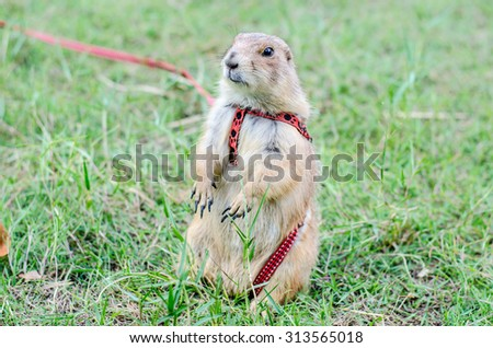 prairie dog looking something on green playground lawn