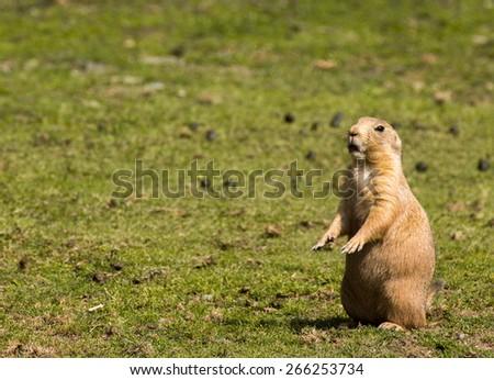 Prairie dog standing - stock photo