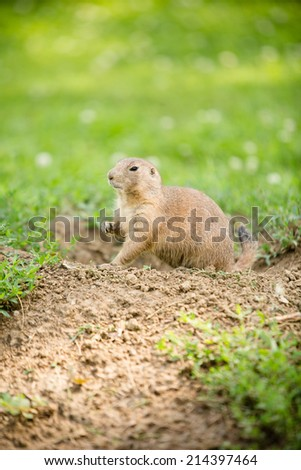 Prairie Dog - This is a shot of a cute prairie dog coming out of the ground to have a look around. - stock photo