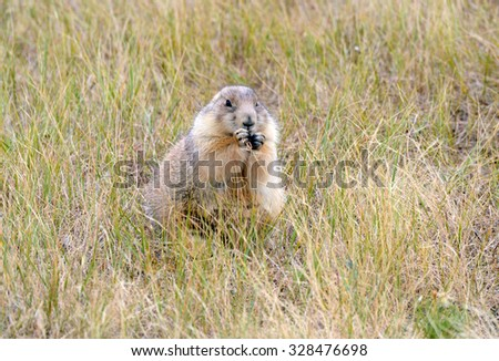 Prairie dogs are burrowing rodents native to several Rocky Mountain and Great Plains states and live in large communities underground. - stock photo
