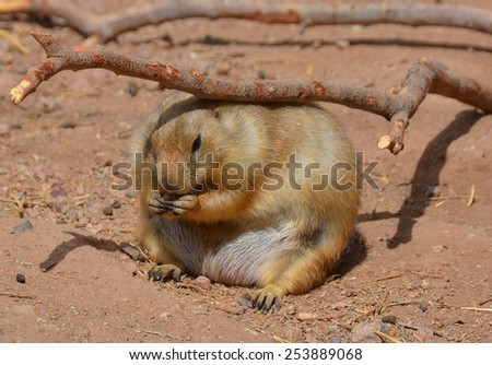Prairie dogs are burrowing rodents native to the grasslands of North America. The five different species of prairie dogs are: black-tailed, white-tailed, Gunnison's, Utah, and Mexican prairie dogs - stock photo