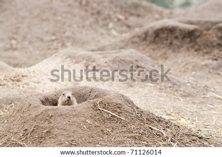 Prairie dogs (Cynomys) are burrowing rodents native to the grasslands of North America.  They are a type of ground squirrel. They are found in the United States, Canada, and Mexico - stock photo