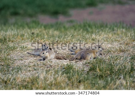 Prairie Dogs family, latin name (Cynomys ludovicianus) and nest in Canadian Prairies of Alberta,Canada
