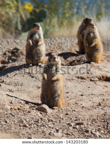 Prairie Dogs Standing Up - stock photo