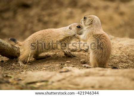 prairie dogs, two pups cuddling