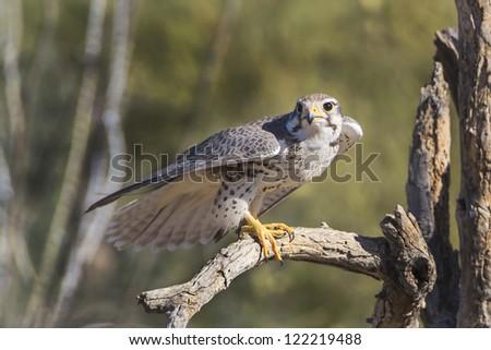 Prairie Falcon in Tucson Arizona - stock photo