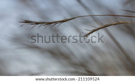 Prairie grass background with two strands in foreground - stock photo