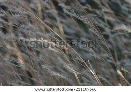 Prairie grass in wind background, blurred - stock photo