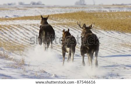 Prairie Moose Saskatchewan Canada Winter Running - stock photo