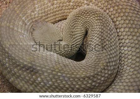 prairie-rattle-snake - stock photo