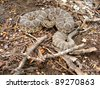Prairie Rattlesnake, Crotalus viridis coiled in the shade - stock photo