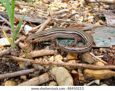 Prairie Skink. Eumeces septentrionalis - a striped lizard of the American central plains - stock photo