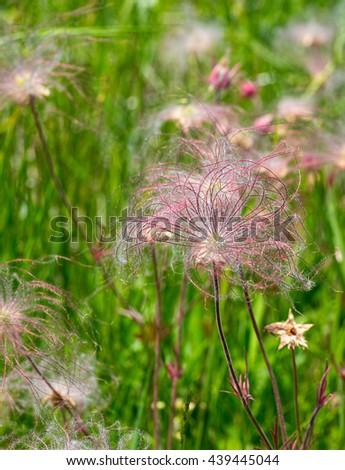 Prairie smoke wildflowers  - stock photo