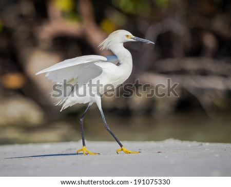 Prancing snowy egret on the beach