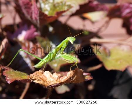 praying mantis balancing on a leaf - stock photo