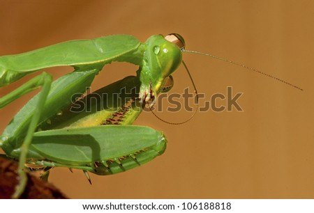 Praying Mantis cleaning her antennae