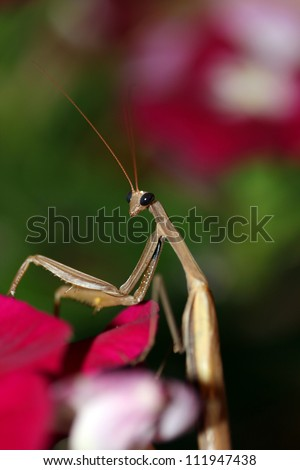 Praying Mantis, closeup shot, on flower, shallow dof. - stock photo