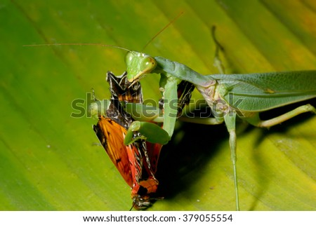 Praying mantis eating butterfly