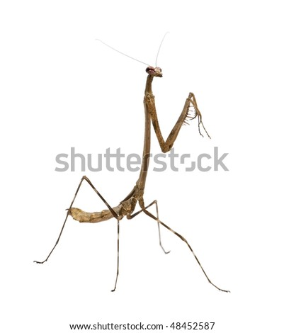 Praying mantis, Euchomenella sp, in front of white background