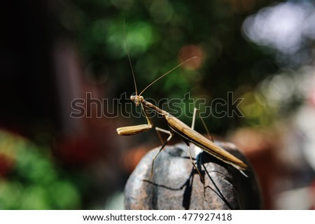 Praying Mantis, European Mantis religiosa