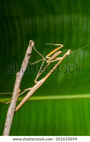 Praying Mantis insect. - stock photo