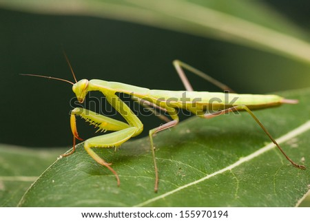 Praying mantis (Mantis religiosa) on a leaf. - stock photo