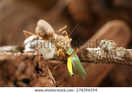 Praying mantis sitting on her egg sacks while she eats another praying mantis with a brown background. - stock photo