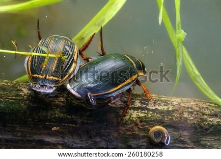 Predaceous diving beetles / Dytiscus latissimus - stock photo