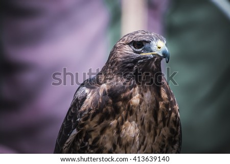 predator, exhibition of birds of prey in a medieval fair, detail of beautiful imperial eagle in Spain - stock photo