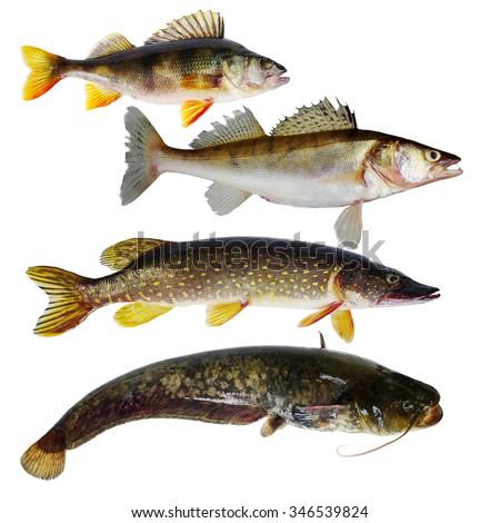 Predator fish.Isolated on white. - stock photo