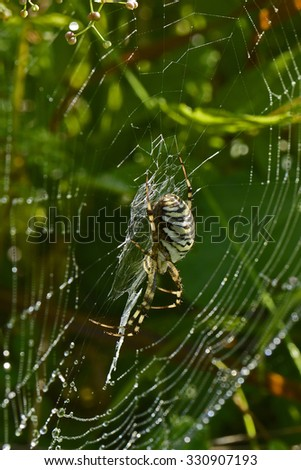 Predator Spider with Black and Yellow strips hangs on spiderweb