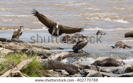 Predatory bird flies to prey. Kenya. Tanzania. Safari. East Africa.  - stock photo