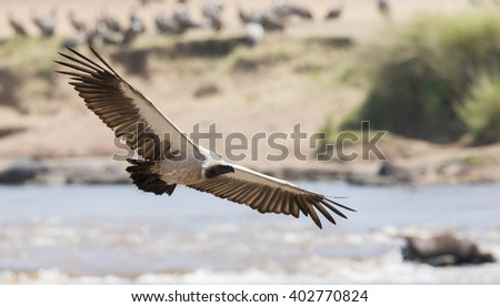 Predatory bird in flight. Kenya. Tanzania. Safari. East Africa. An excellent illustration. - stock photo