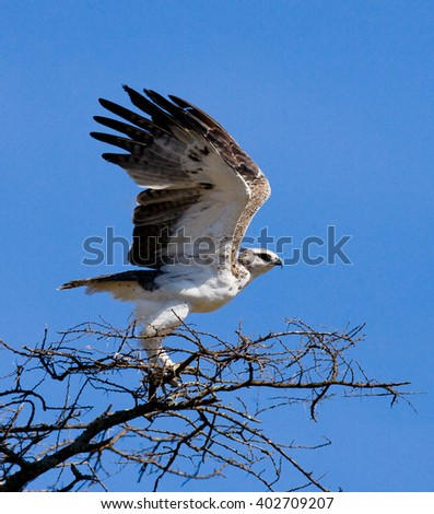 Predatory bird is sitting on a tree. Kenya. Tanzania. Safari. East Africa. An excellent illustration.