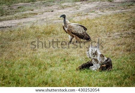 Predatory bird standing by the pray skull in the savannah, Kenya - stock photo
