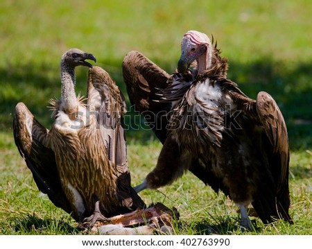 Predatory birds are fighting with each other for the prey. Kenya. Tanzania. Safari. East Africa.  - stock photo