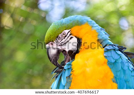 Preening Blue and Yellow Macaw Parrot.