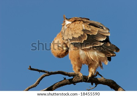 Preening tawny eagle (Aquila rapax) perched on a branch, Kalahari desert, South Africa