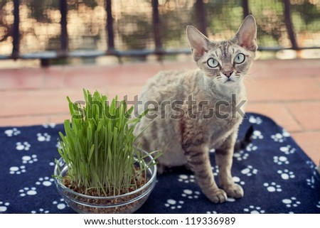 Pregnant cat is sitting on the balcony on a soft  wrap with pot of green grass. Devon rex cat is walking on terrace. Cat feels pleasure of being in fresh air