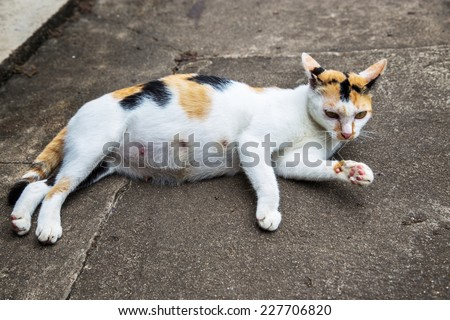 Pregnant cat sprawled on the ground - stock photo