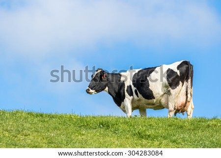 Pregnant cow in green grass paddock - stock photo
