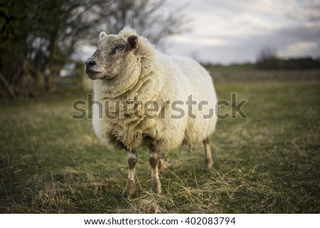 Pregnant Ewe, Spring. Sheep in Cotswold Landscape