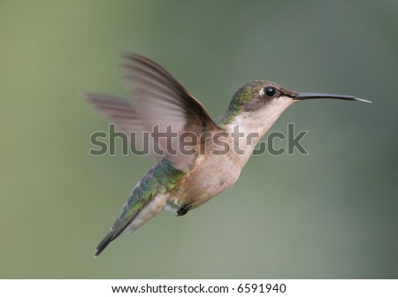 Pregnant female Ruby-throated Hummingbird during nest building