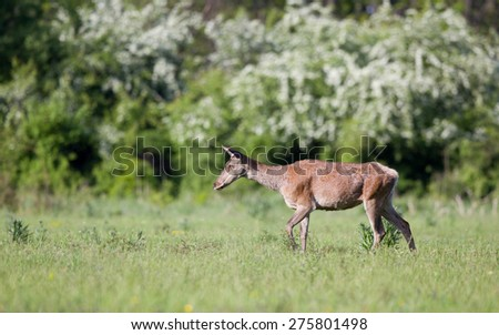 Pregnant red deer hind walking on meadow in front of forest in spring time - stock photo