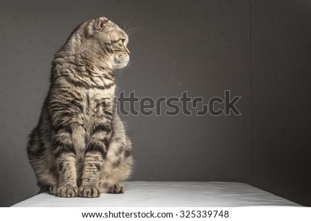 Pregnant thick gray striped scottish fold cat sitting on a table covered with a white cloth and looking to the side - stock photo
