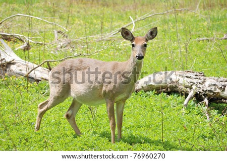 Pregnant Whitetail deer doe standing in a field.