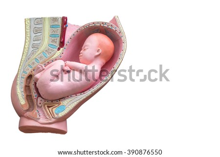 Pregnant Woman Anatomy Fetus Isolaed On Stock Photo (Royalty Free ...