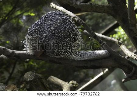 Prehensile Tailed Porcupine (Coendous) - stock photo
