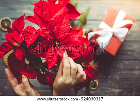 preparation for christmas woman holding poinsettia flowers festive dreamlike mood - Christmas Poinsettia