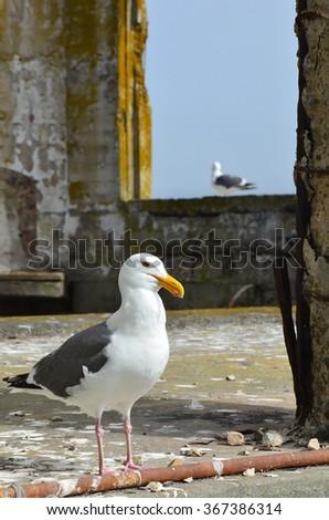 Present Inhabitants of Alcatraz Island - stock photo